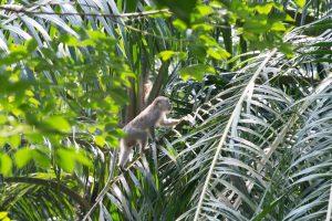 Affe auf Palme