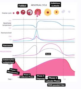 hormone und menstruationszyklus