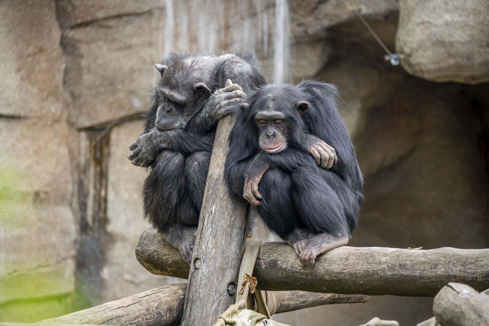 Zwei schlafende Affen auf einem Holzgerüst