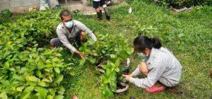 Ein Kautschuk-Kleinbauer und eine -Kleinbäuerin nehmen sich Baumsetzlinge